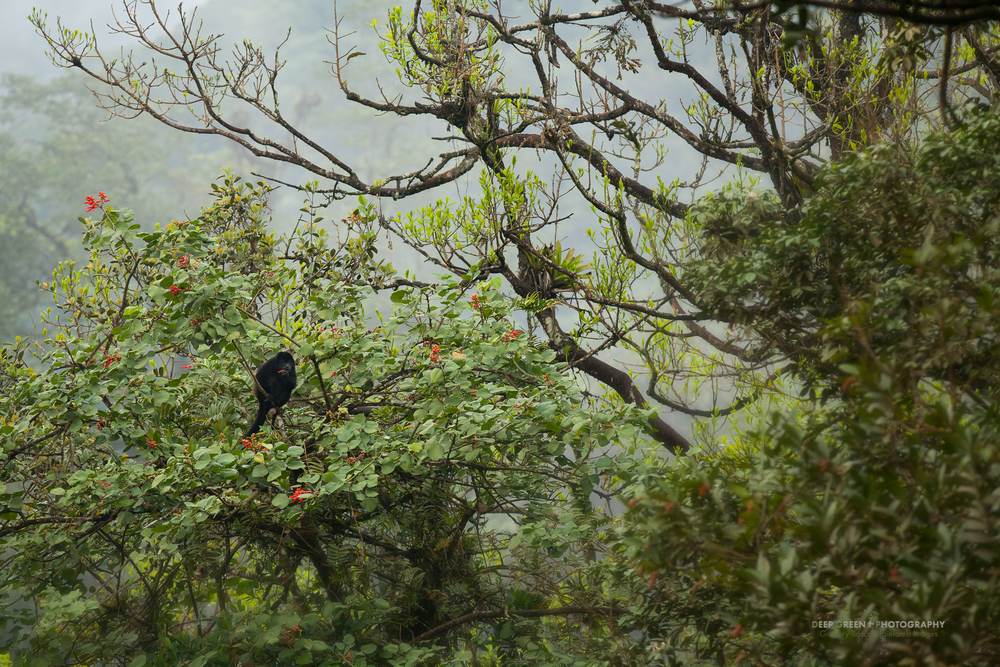A howler monkey eats the flowers of a Poro tree in a cloud forest in the Juan Castro Blanco National Park