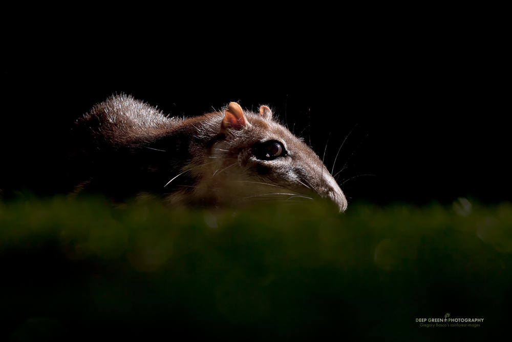 I took this image of a paca (Cuniculus paca, a large nocturnal forest rodent) in a cloud forest in Costa Rica. Knowing where some individuals were feeding, I set out multiple flashes to provide for interesting lighting and laid down on the ground to get an eye level view. I wanted an image that would look moonlit and that would add a bit of intrigue to this big rodent as it foraged for seeds and fruit. I scattered a bit of food in certain areas to allow for better predictability.