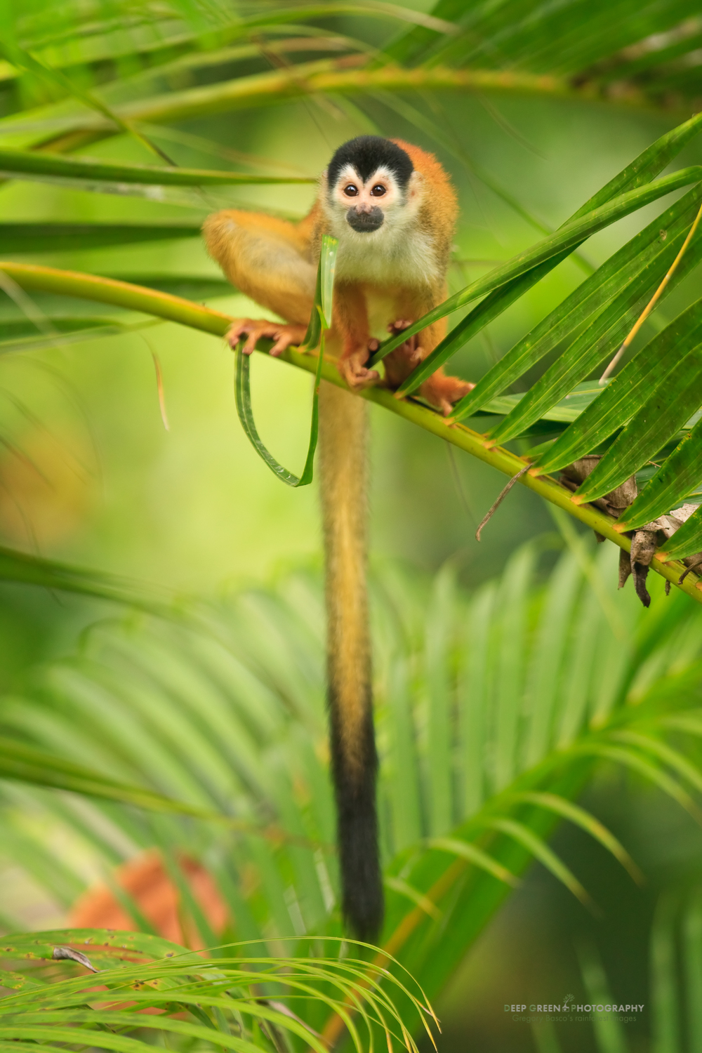 Native only to Costa Rica and Panama, the Black-crowned Central American Squirrel Monkey (Saimiri oerstedii ssp. oerstedii) is classified as endangered by the IUCN.