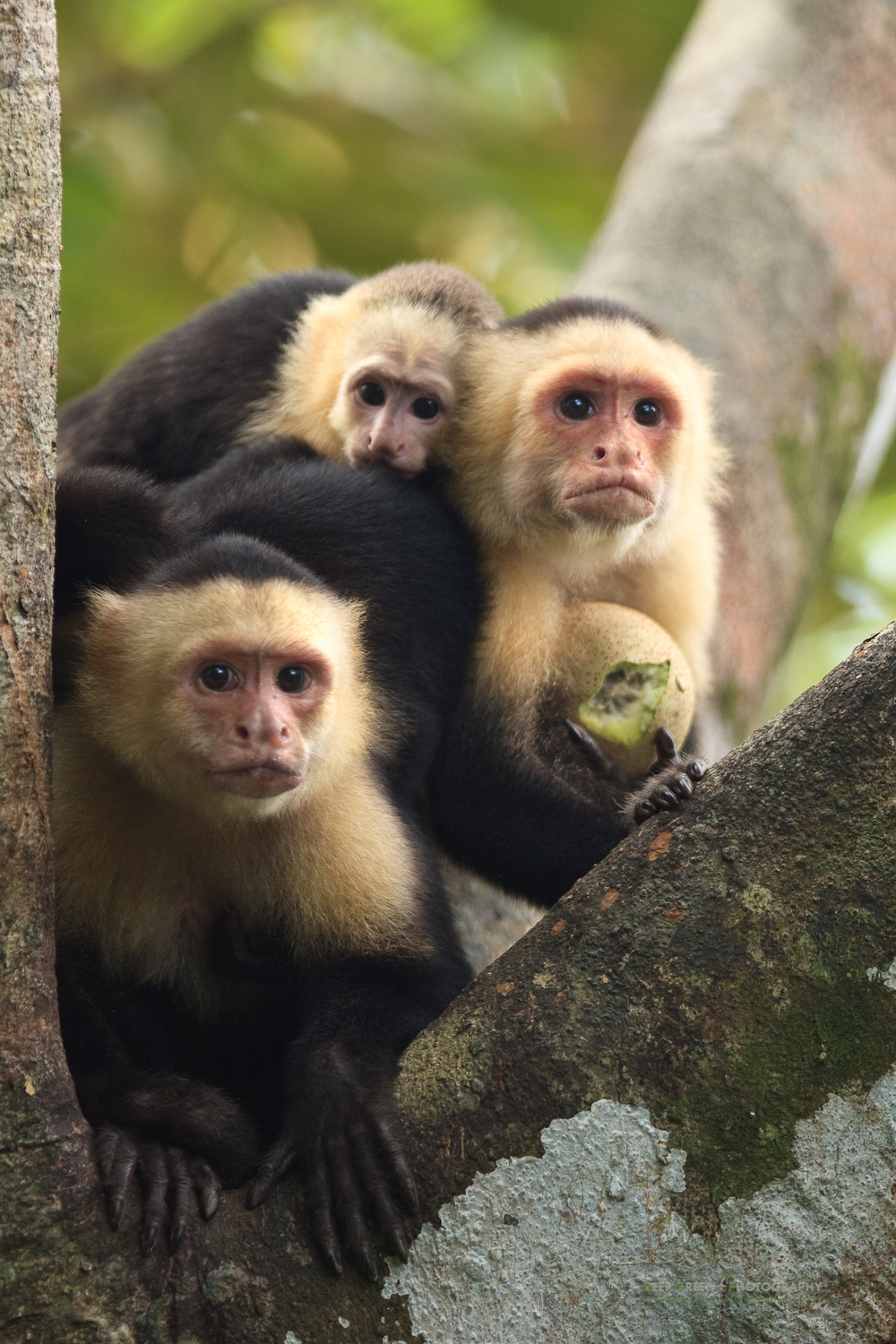 White-faced capuchin monkey (Cebus capucinus), family portrait, Costa Rica