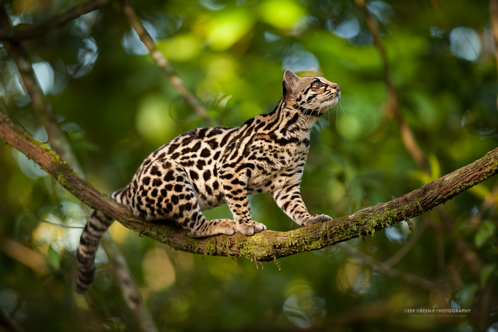 The margay (Leopardus wiedii) is listed as near threatened by the IUCN. I was lucky to capture this image of a young margay on a liana in a rainforest on the outskirts of the Arenal Volcano National Park. This individual's mother was killed by hunters, and the young female was confiscated from the hunters and released back into the wild.