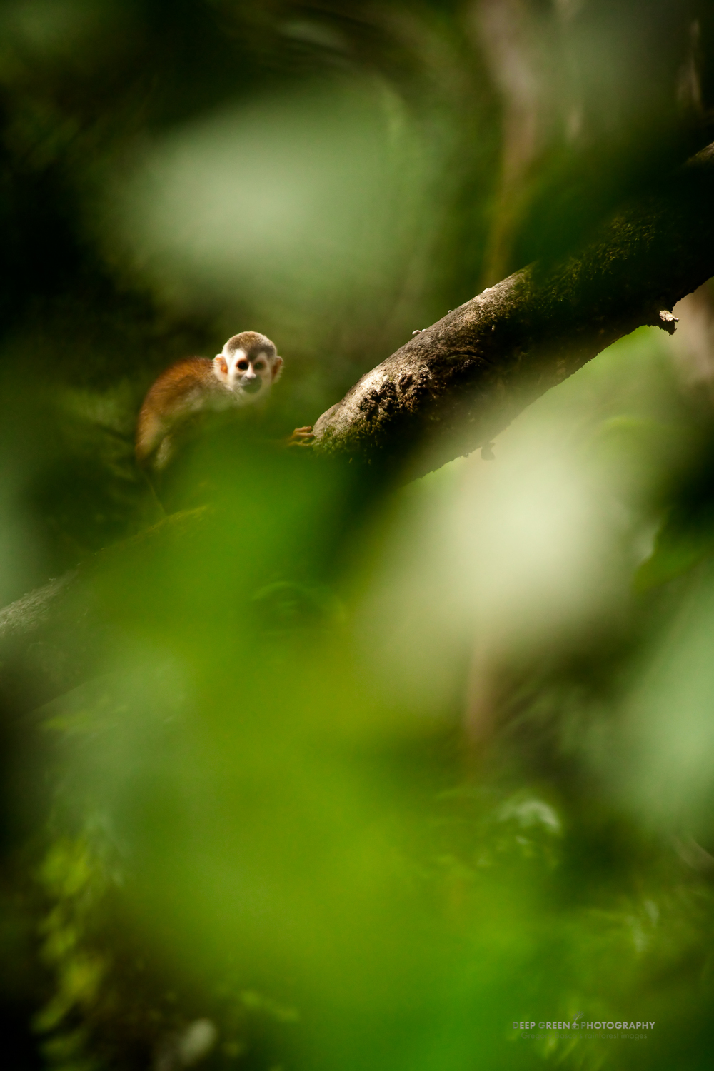 the highly endangered gray-capped squirrel monkey in Manuel Antonio National Park