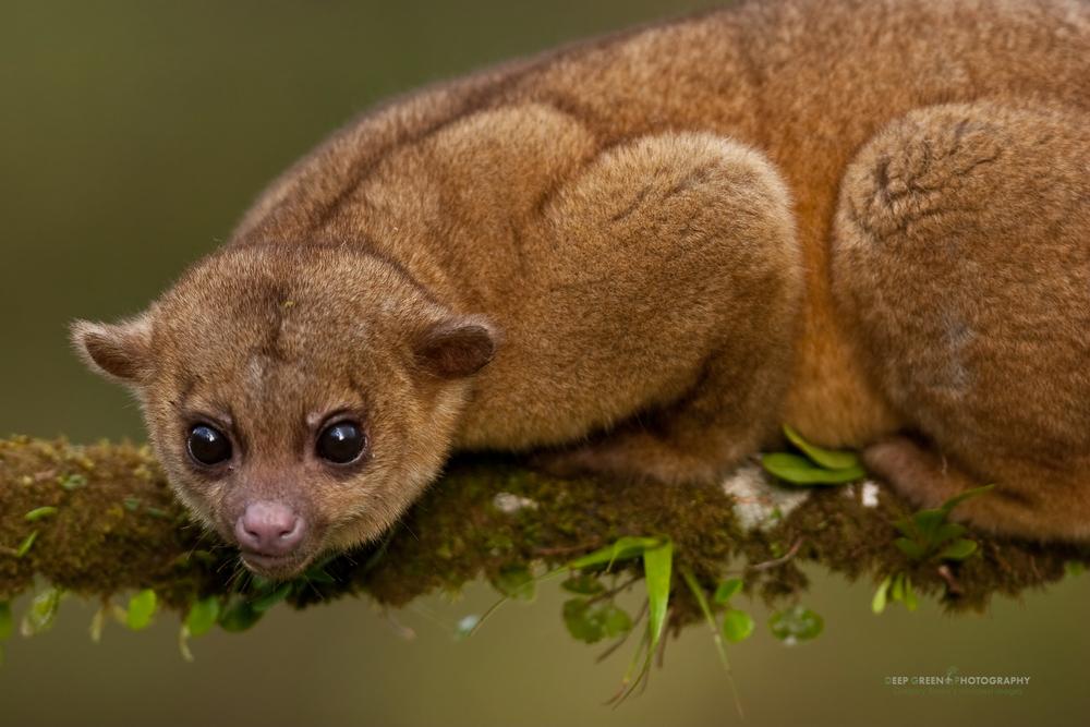 Kinkajou (Potos flavus), Costa Rica