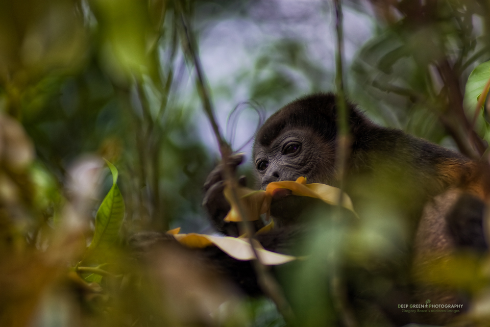 a howler monkey enjoys the leaves of a mango tree in Guanacaste province