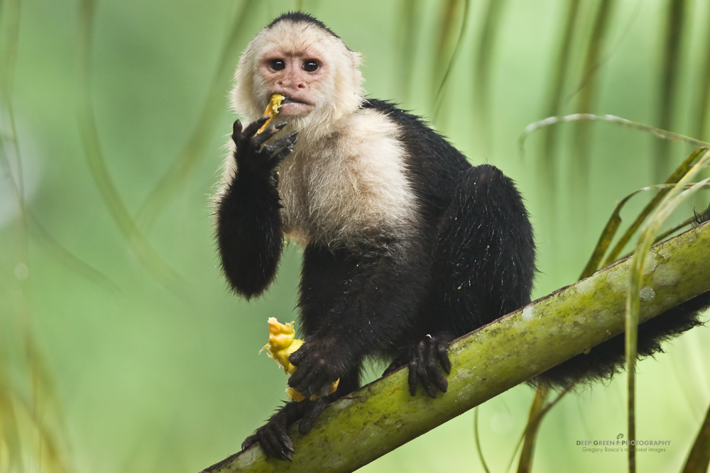 White-faced capuchin monkey (Cebus capucinus) eating cashew fruit, Costa Rica