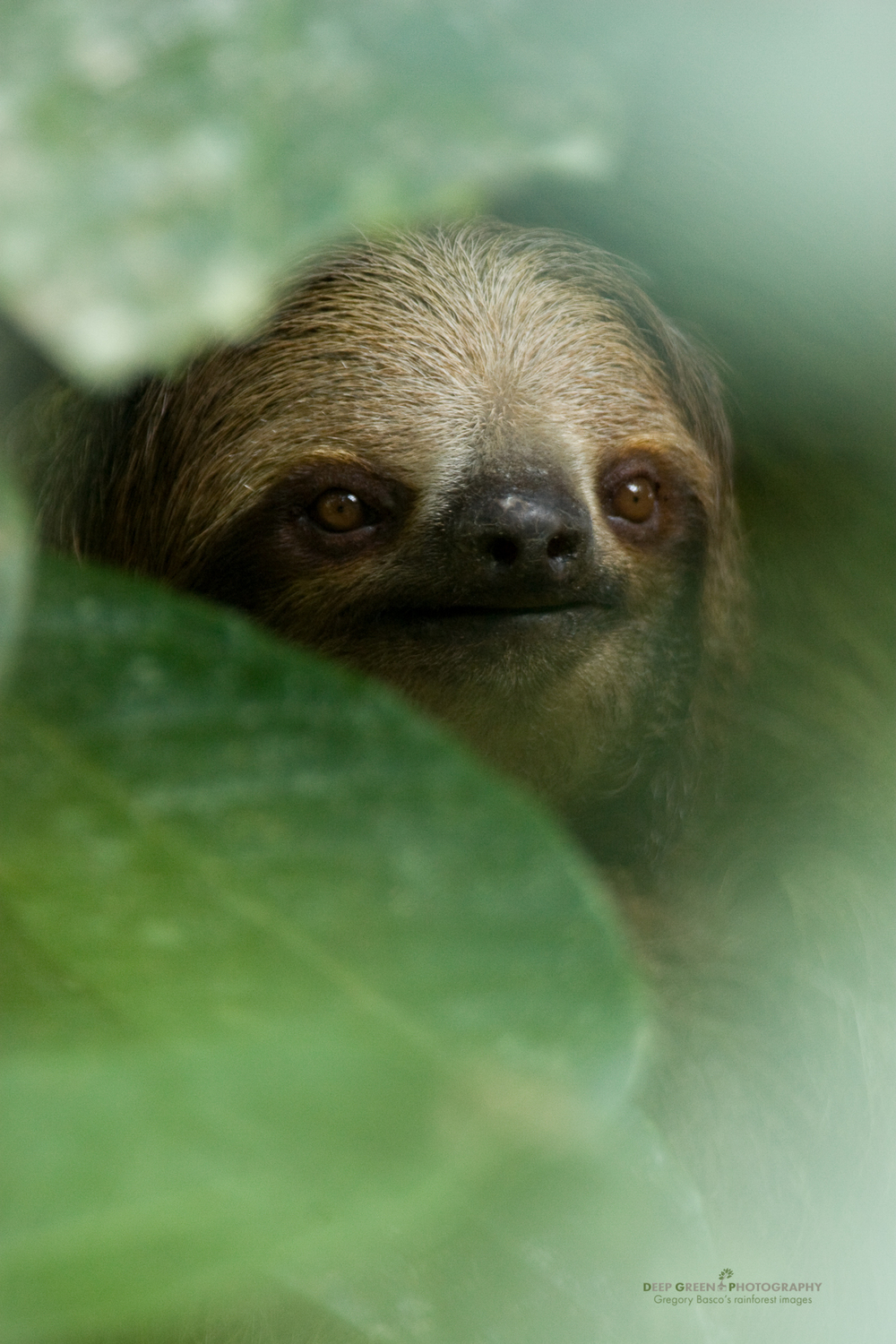 three toed sloth, La Selva Biological Reserve