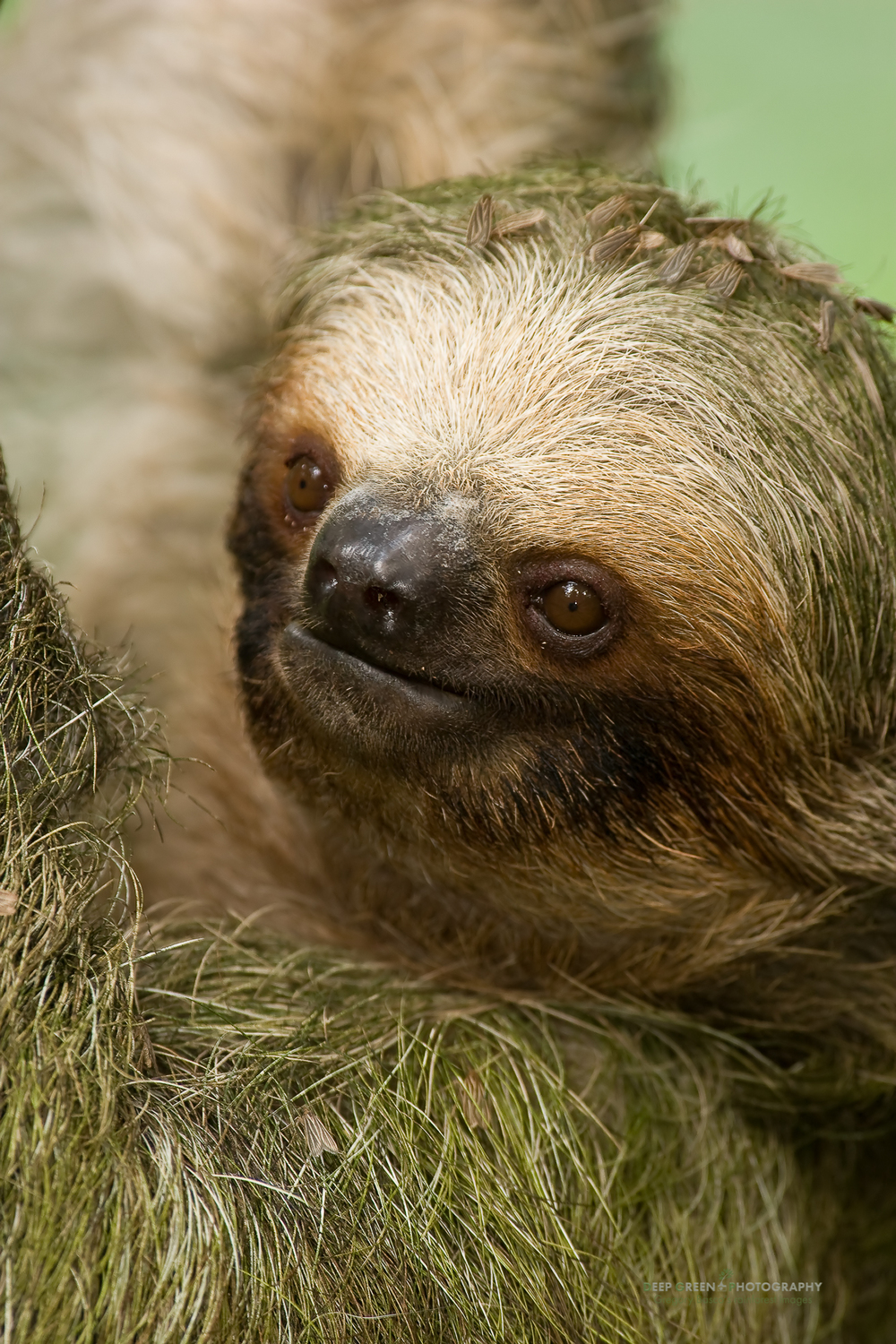 three-toed sloth closeup shows the moth that feed on the algae that grow on the sloth's fur