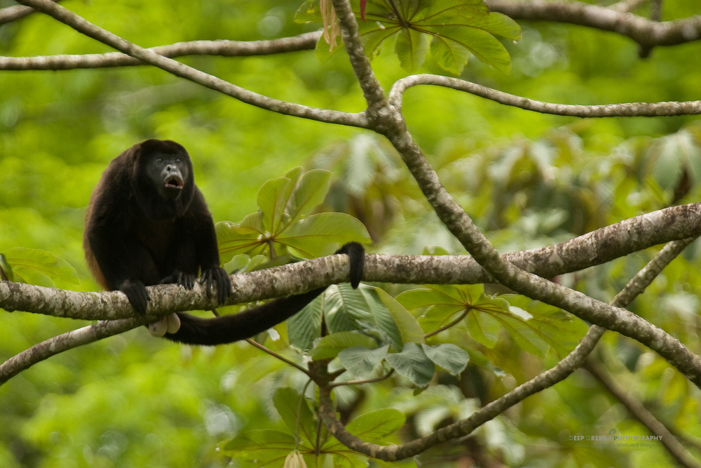 Mantled howler monkey (Alouatta palliata) in Cecropia tree, Costa Rica