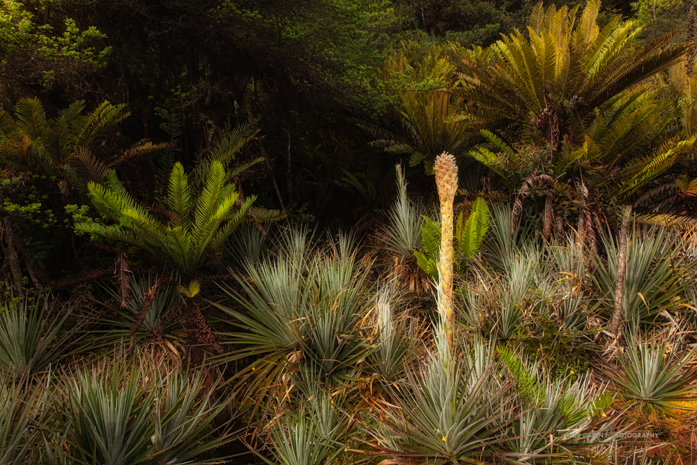 puya bromeliads grow in a highland swamp in the Tapanti National Park