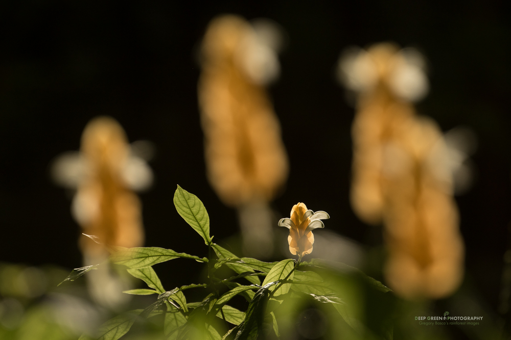 backlit golden shrimp plant in lowland rainforest
