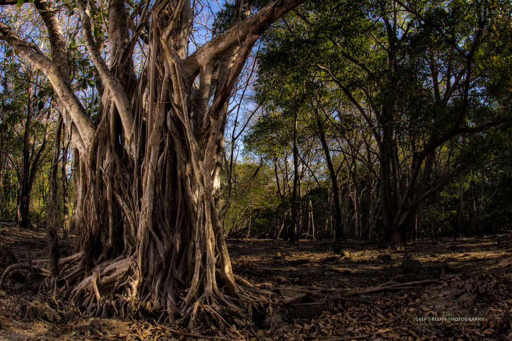 a giant strangler fig in Santa Rosa National Park