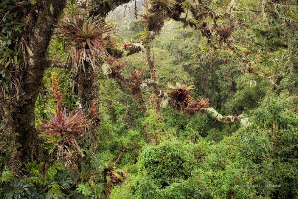 epiphytes, Talamanca cloud forest