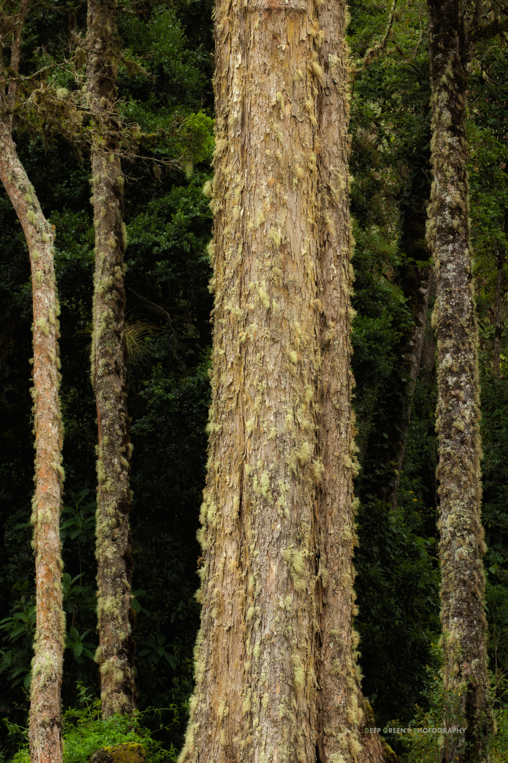 trees of the Talamanca cloud forest
