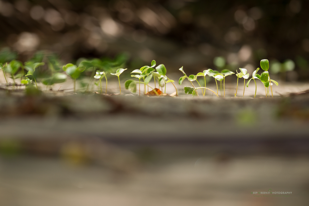 Manzanillo seedlings on a beach in Manuel Antonio National Park