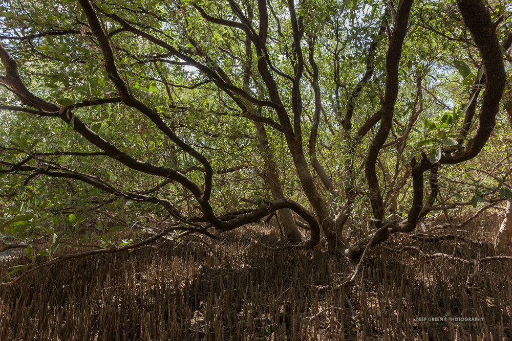 mangroves in Santa Rosa National Park