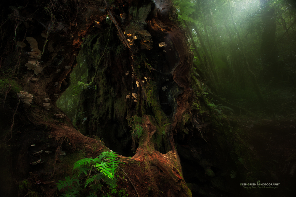 a decaying, mushroom-bedecked Quercus tree in the misty cloud forest of the Talamanca Mountain Range