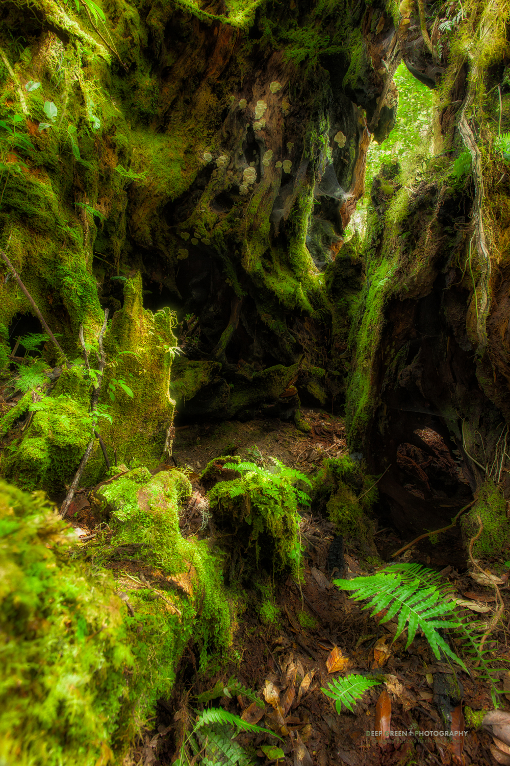 inside a giant decaying oak tree in the misty cloud forest of the Talamanca mountain range