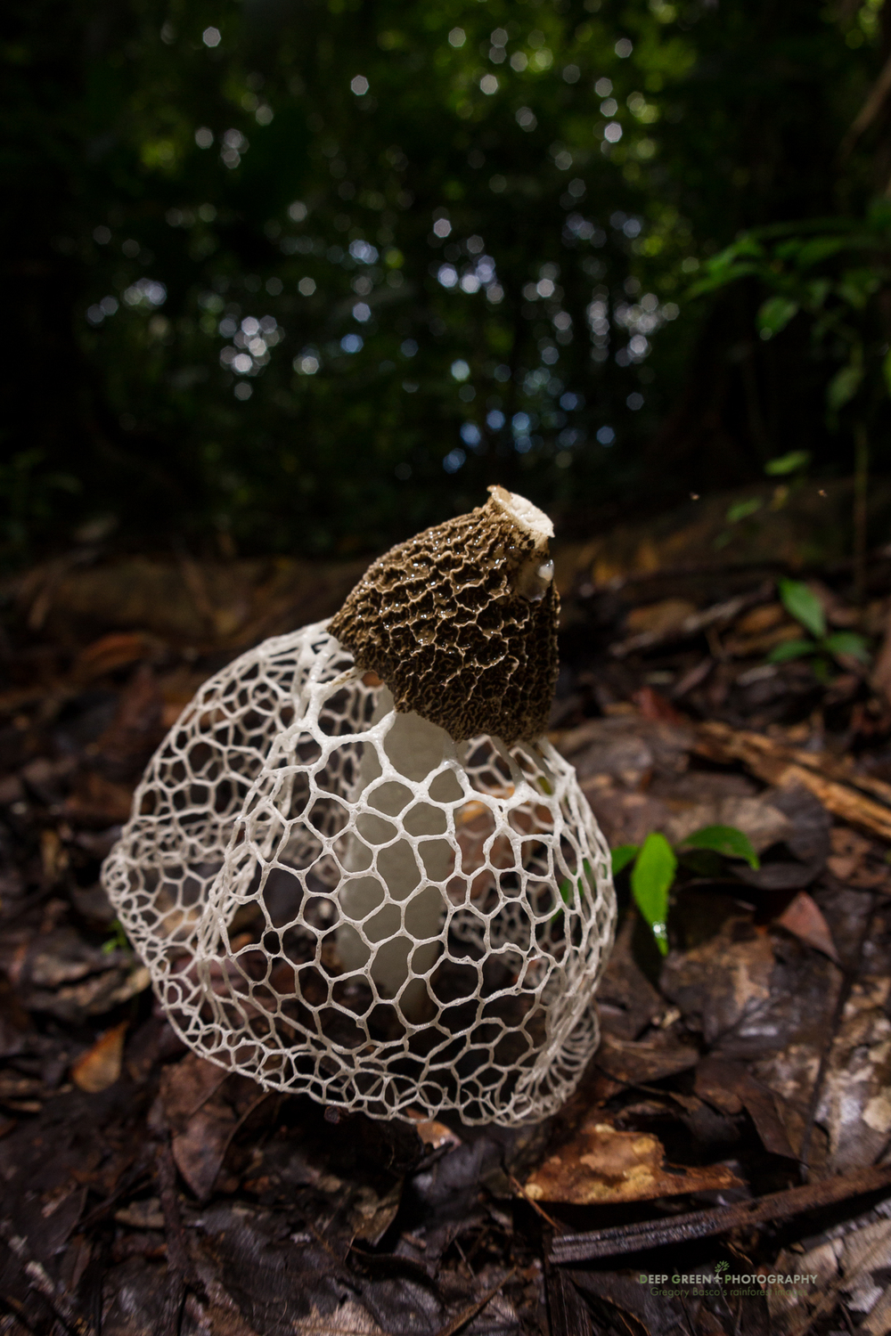 a bridal veil mushroom in Corcovado National Park