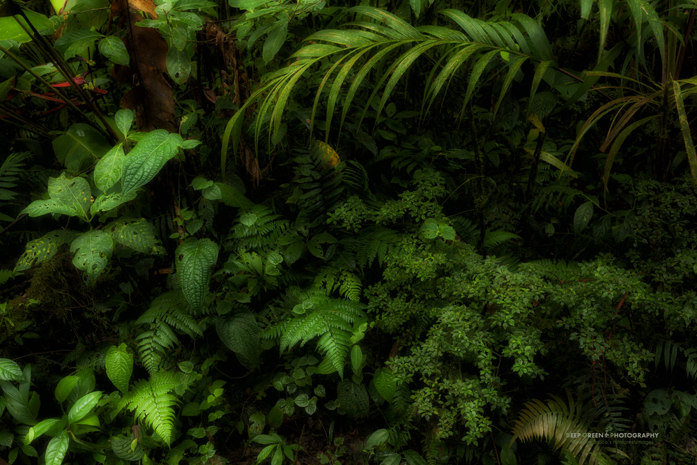 forest floor vegetation in the Monteverde Cloud Forest Preserve
