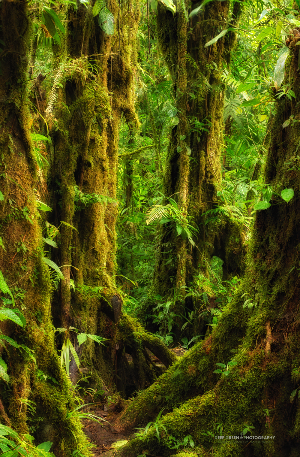 moss-covered oak trees in the Monteverde Cloud Forest Preserve