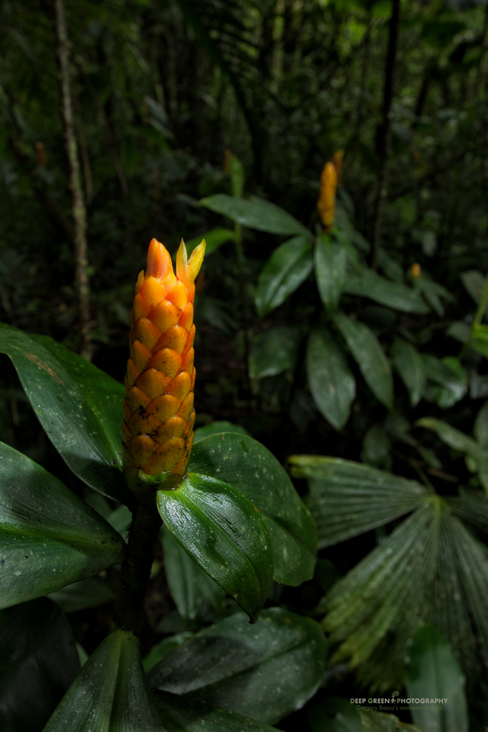 Costus flowers grow in a cloud forest light gap