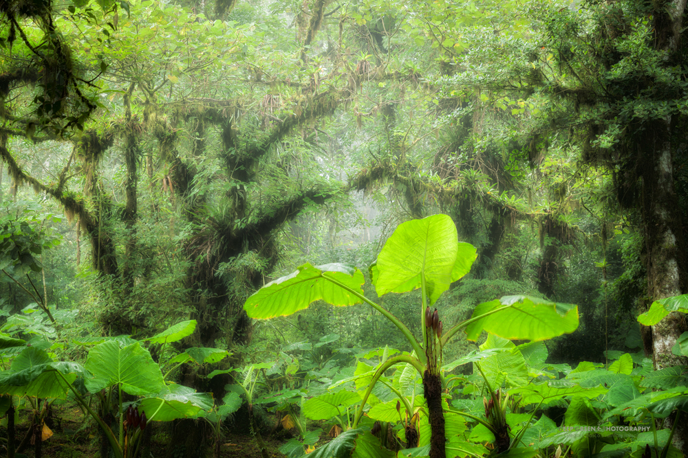 elephant ear leaves in a cloud forest light gap on a misty afternoon