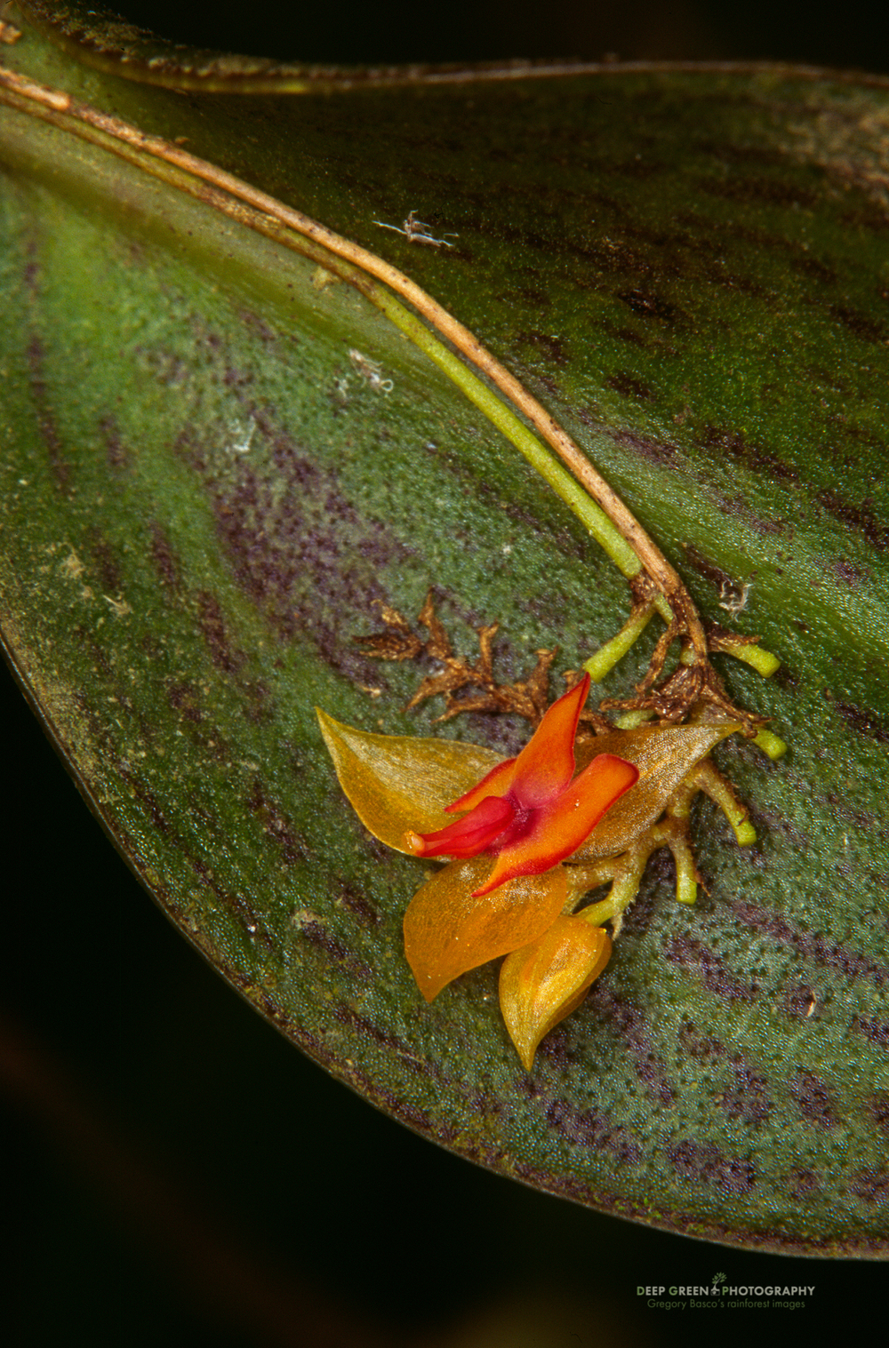 Microorchid flower and leaf, Monteverde Cloud Forest Preserve, Costa Rica