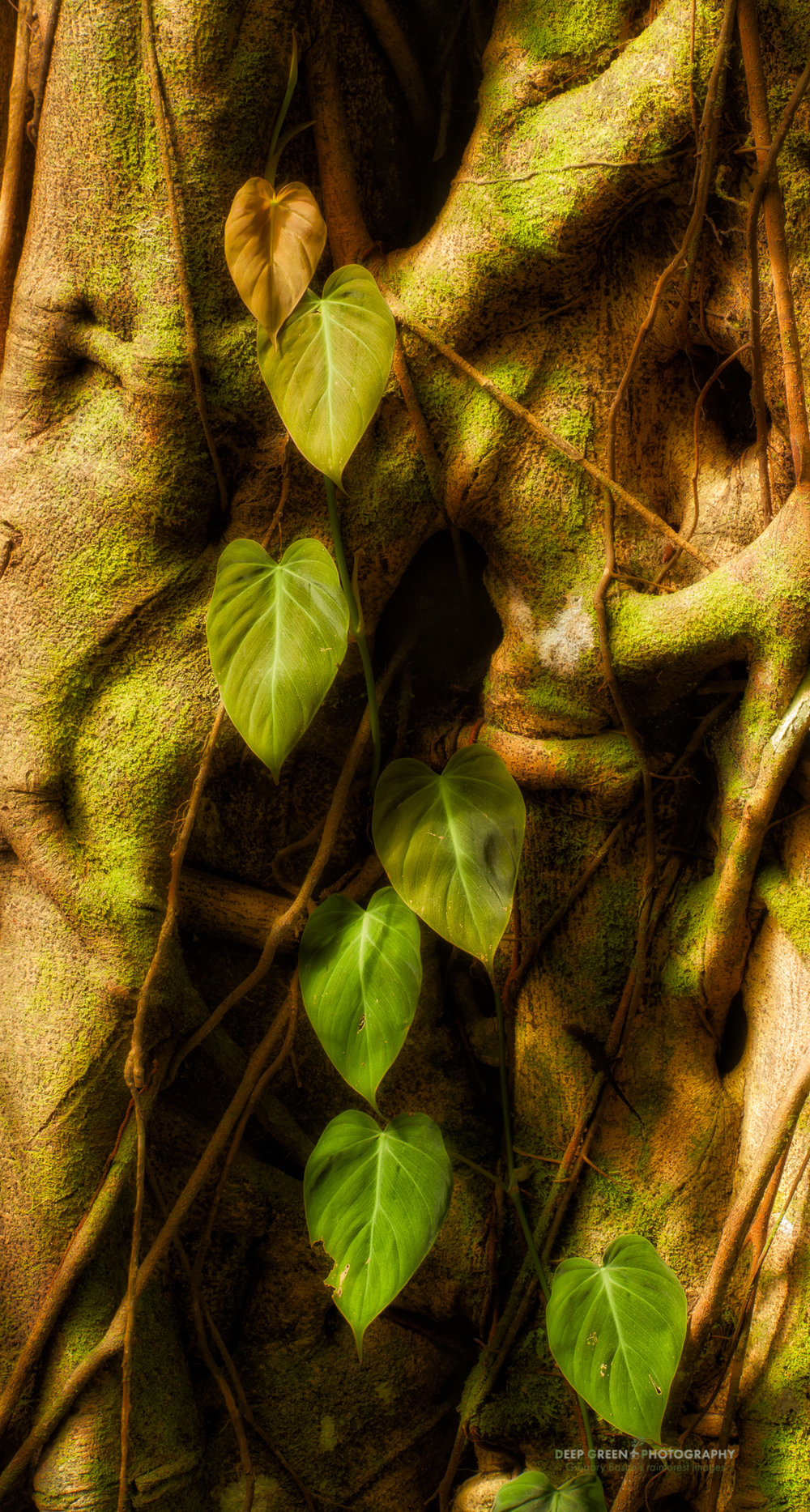 A Philodendron grows on a stangler fig in a Costa Rican lowland rainforest.