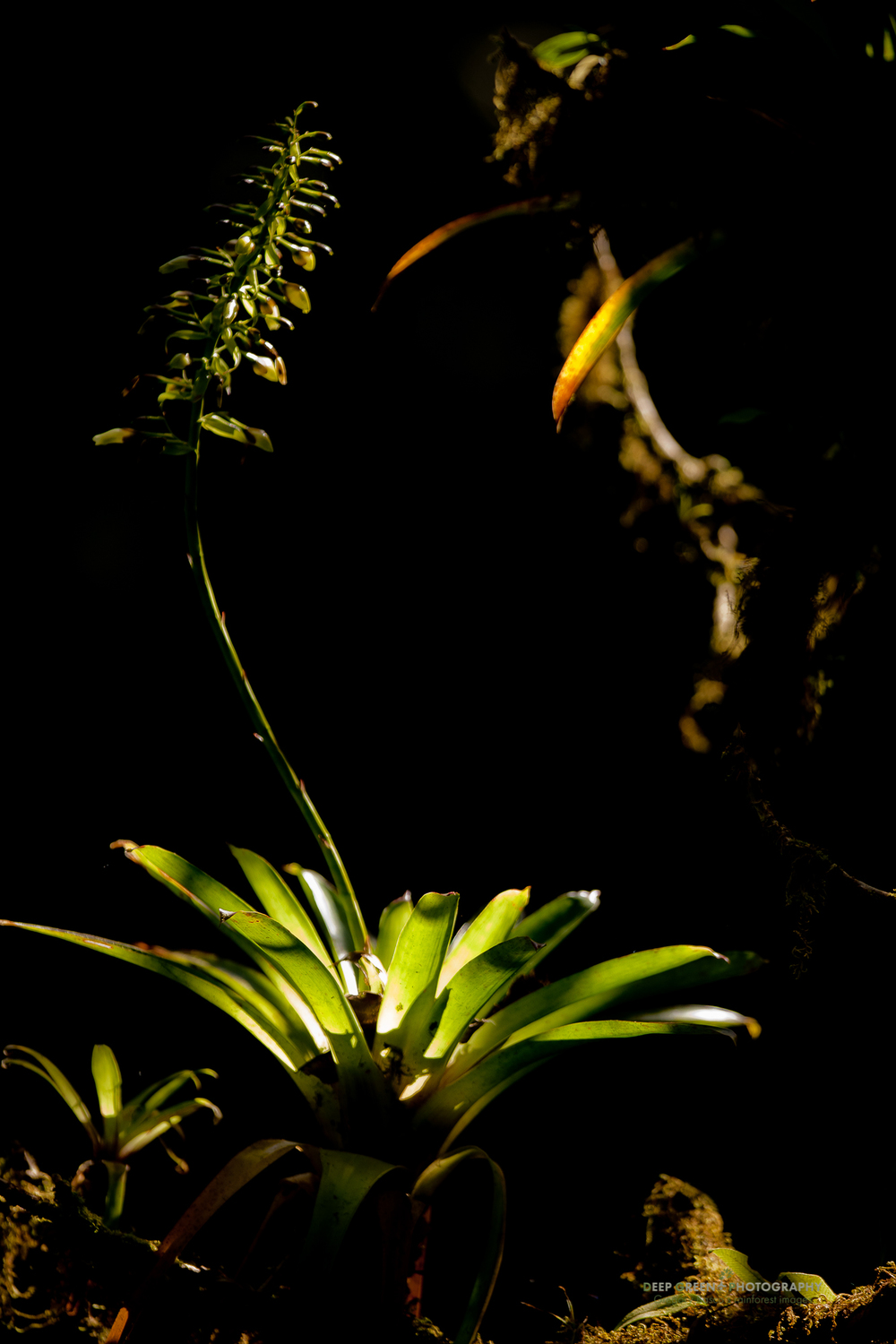 Bromeliad in Monteverde Cloud Forest Preserve