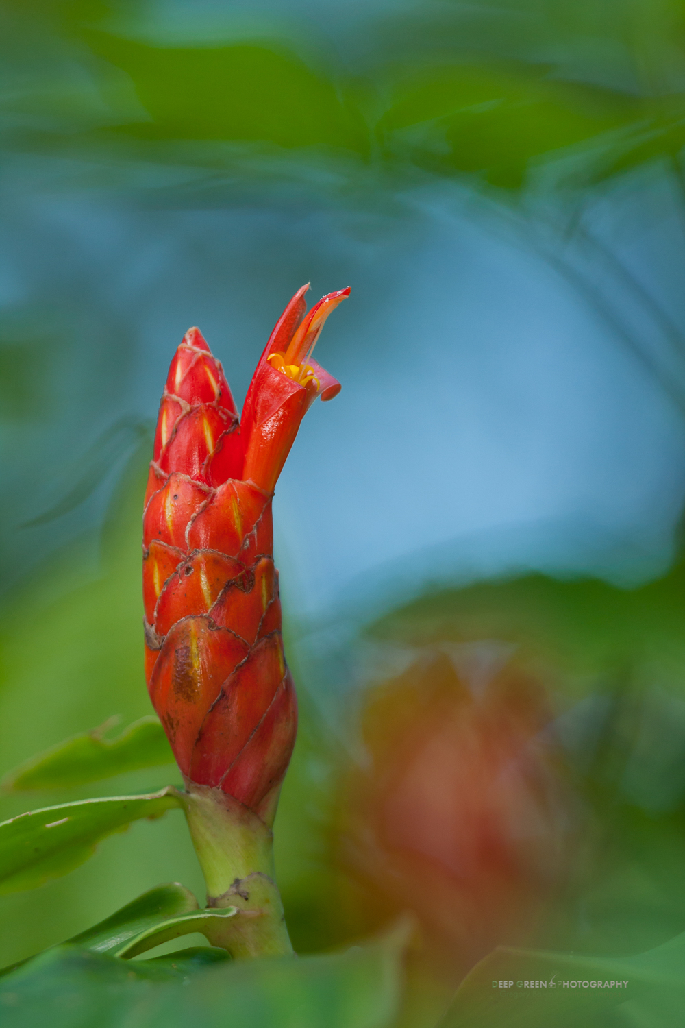 Costus flower in rainforest near Arenal Volcano