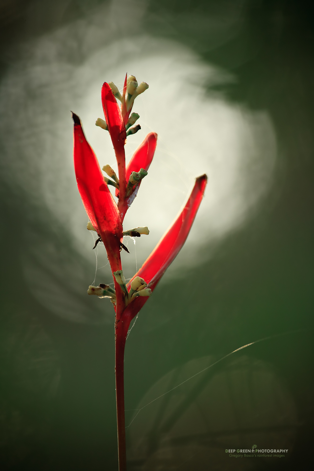 Heliconia in rainforest