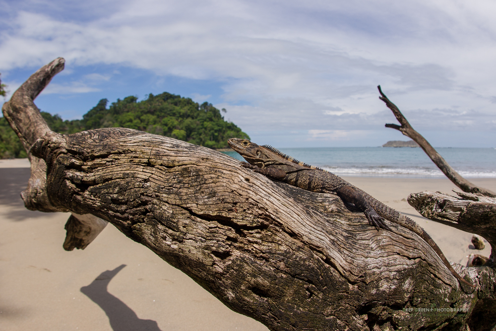 a ctenosaur or spiny-tailed iguana on driftwood in the Manuel Antonio National Park