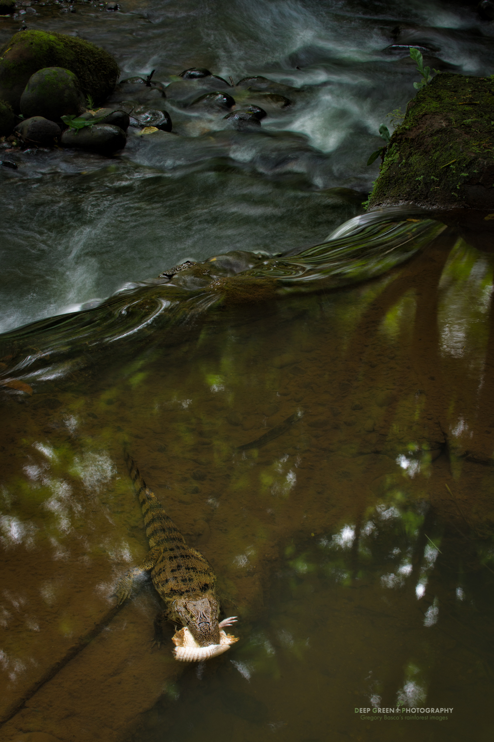 spectacled caiman eating an armadillo in a rainforest stream