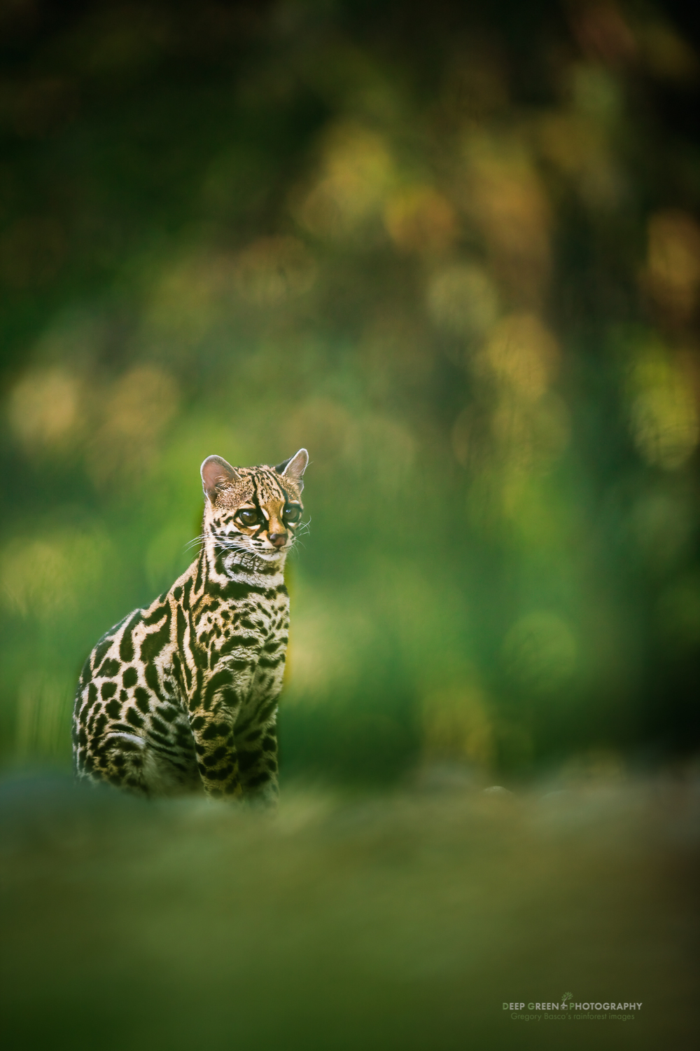 margay, a largely nocturnal cat rarely seen during the day
