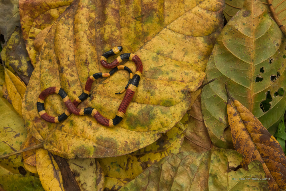 Costa Rican coral snake on rainforest floor