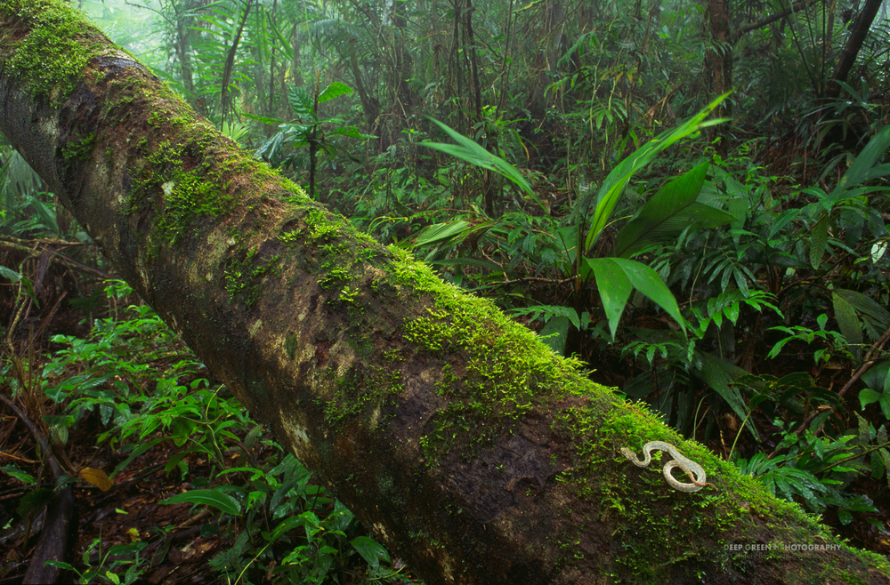 eyelash viper on fallen tree in a cloud forest