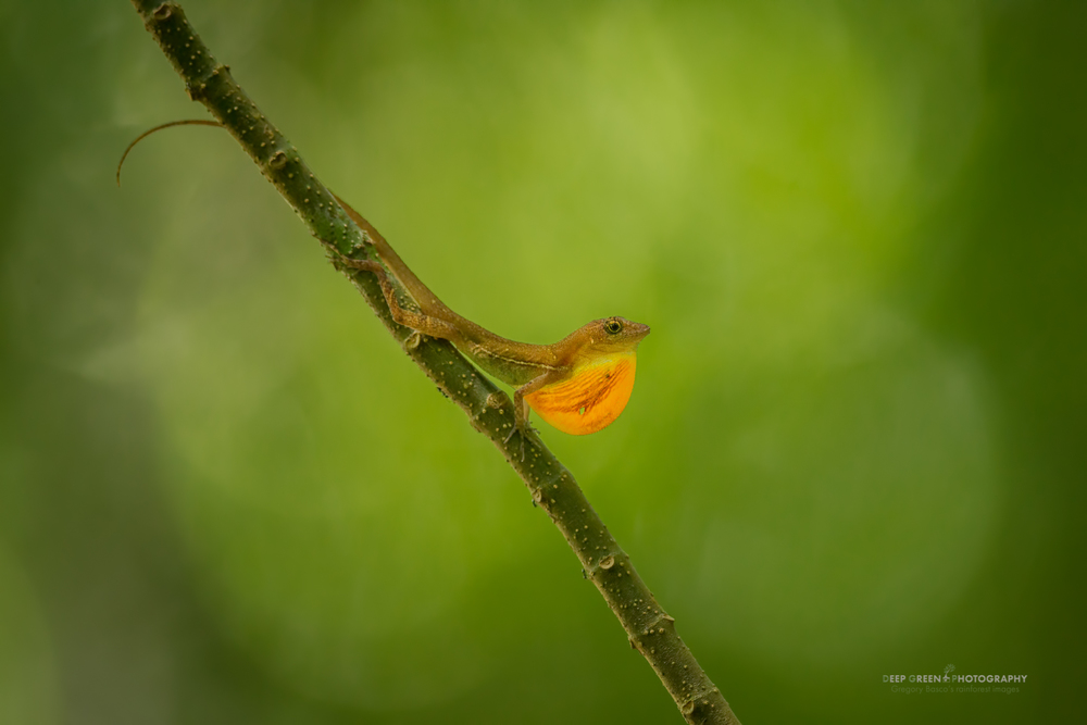 an anole lizard displays to attract a mate in the rainforest in Corcovado National Park