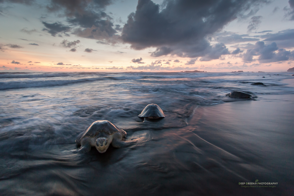 Olive ridley sea turtle (Lepidochelys olivacea) emerge from the ocean to lay eggs as the sun sets at Playa Ostional