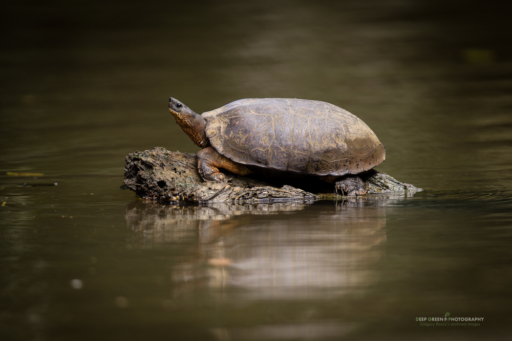 black river turtle, Tortuguero National Park