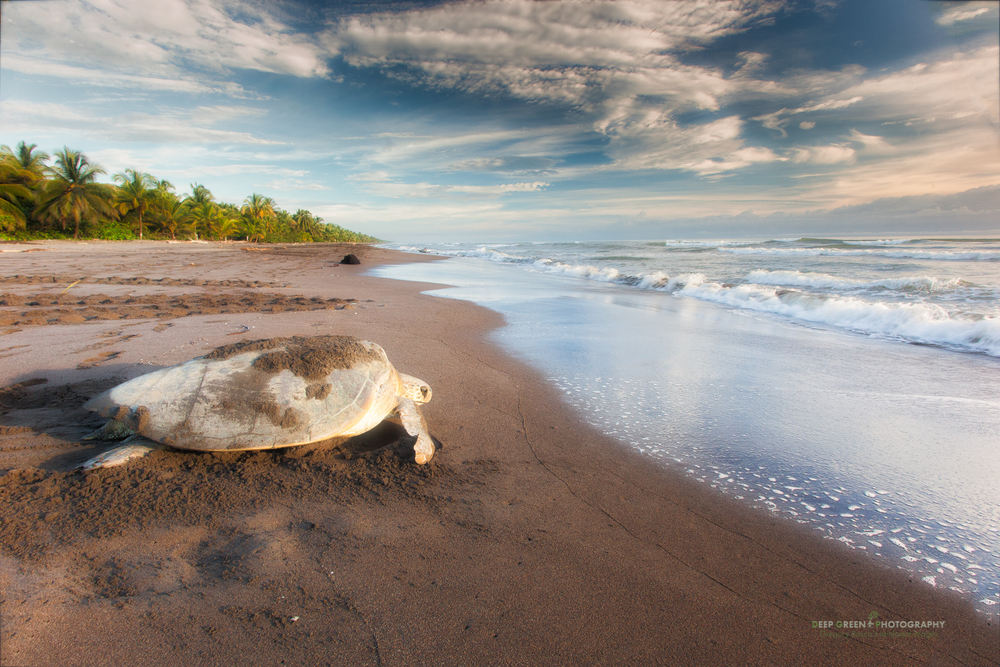 Green sea turtle returning to Caribbean Sea after laying eggs on beach in Tortuguero National Park