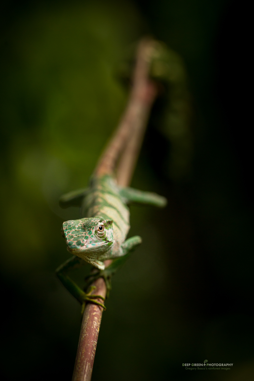 canopy lizard