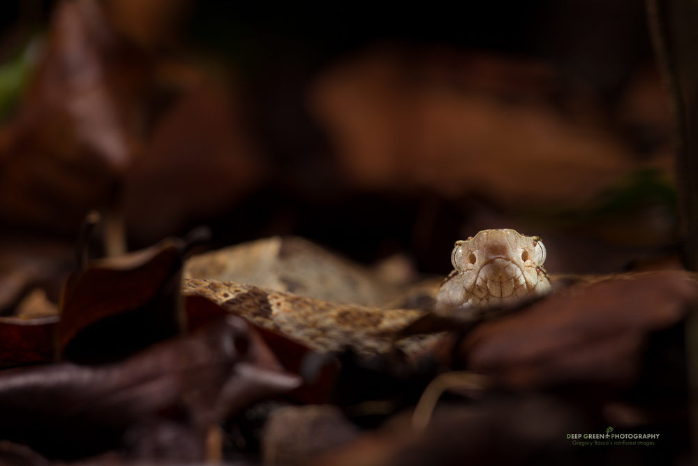 a deadly fer-de-lance on the rainforest floor in Corcovado National Park