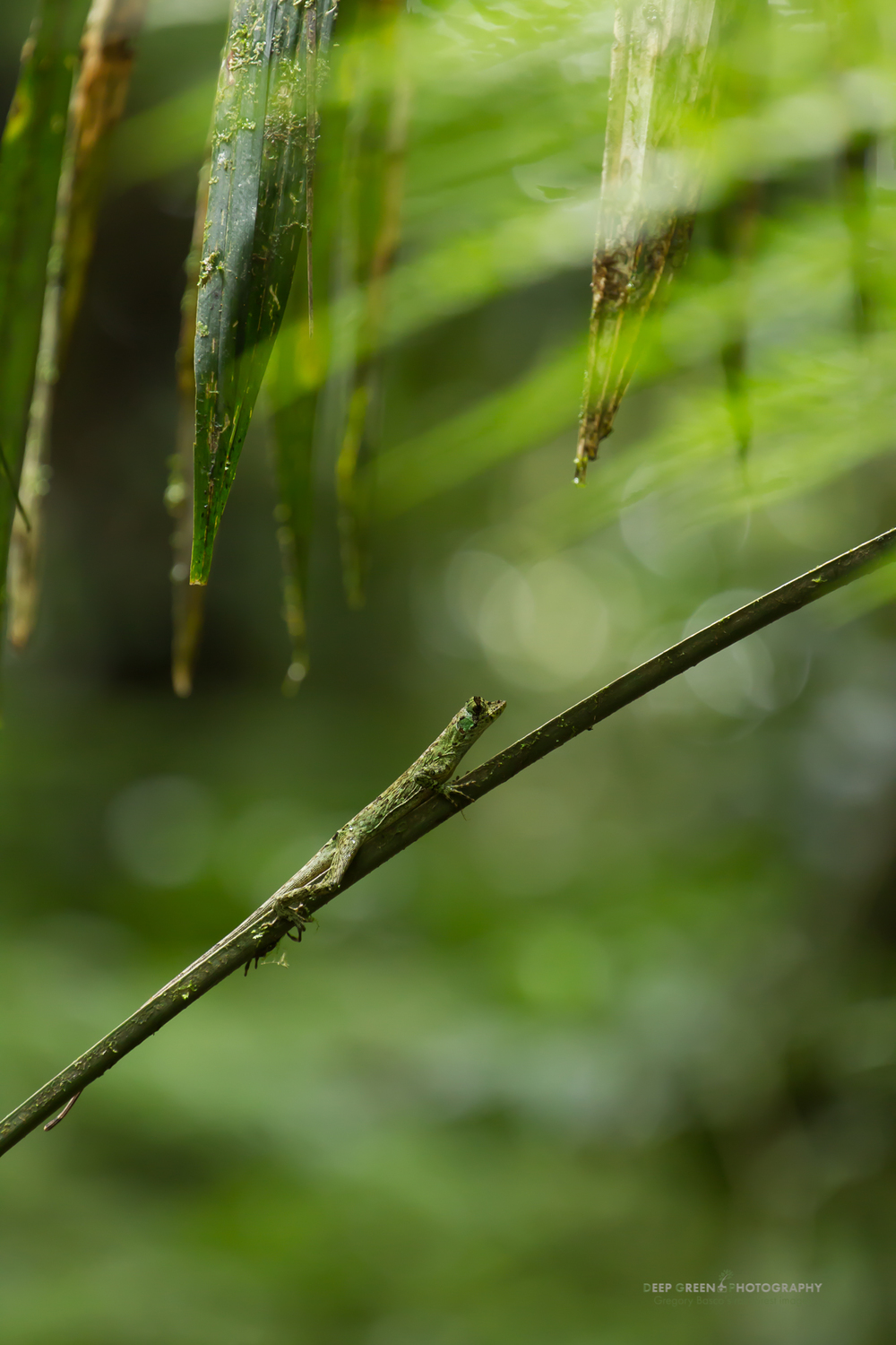anole lizard in Los Angeles Cloud Forest Reserve