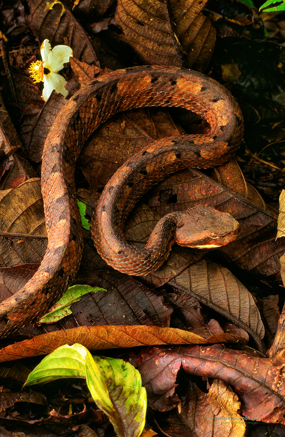 Hog-nosed rainforest pit viper (Porthidium nasutum)