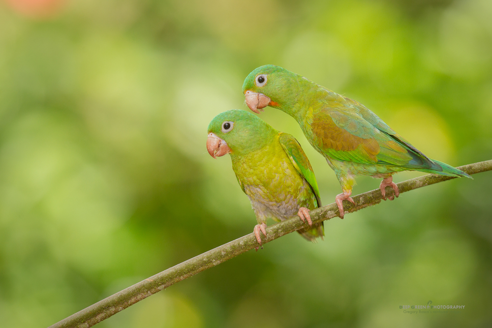 Parakeet Pair I took this shot at a spot where I've helped the local lodge manager to set up feeders in the gardens at his house. Orange-chinned parakeets often visit, and I wanted a shot with more than one bird. For this reason, I chose an open perch. This shot is not a contest winner or anything, but having the two birds engaged with each other and curious about the photographer made for a nice little image.