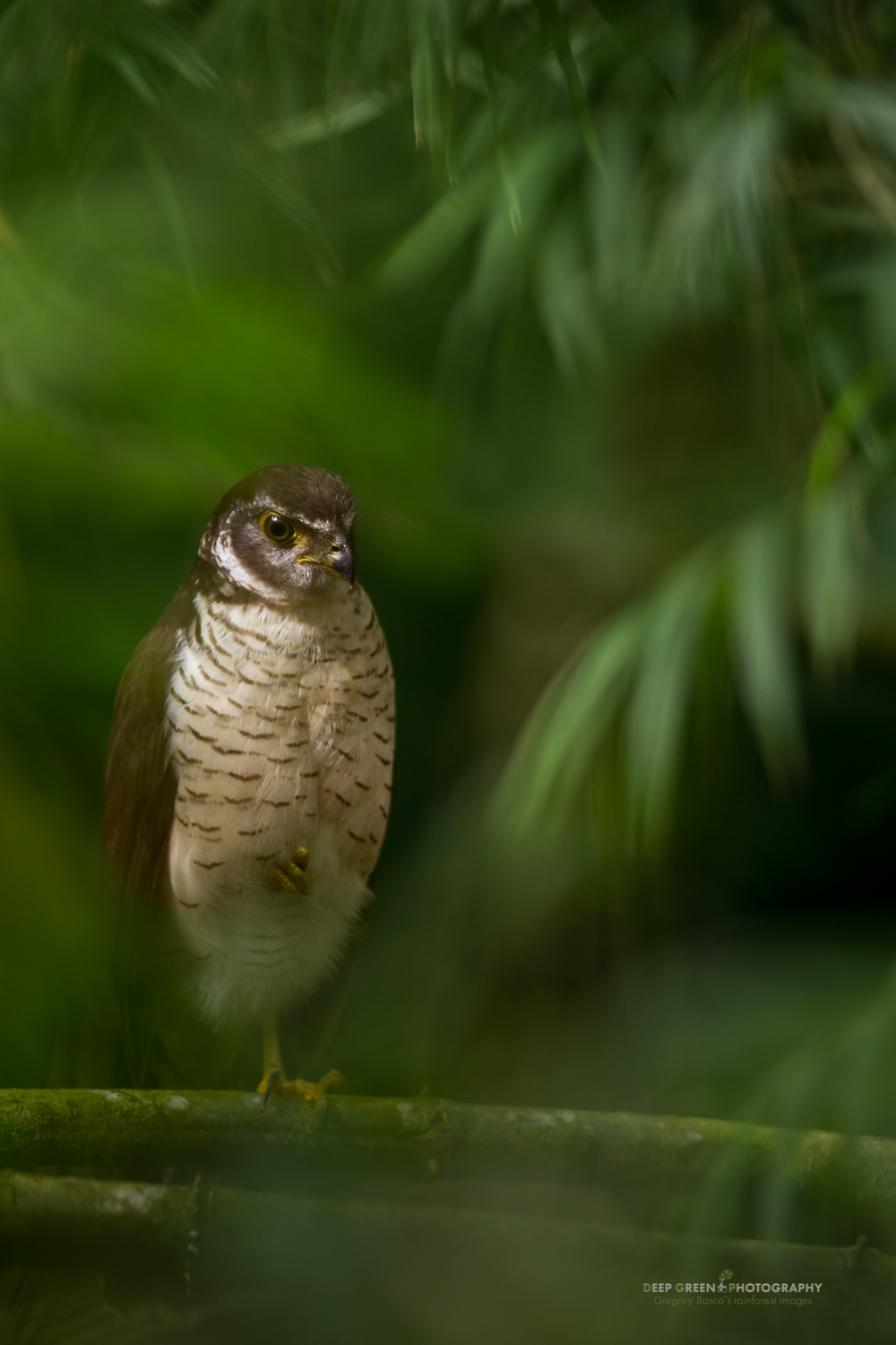 Forest Falcon This was one of those encounters that makes bird photography, and nature photography in general, so fun. My friend Doug Brown and I came upon this juvenile barred forest falcon following an army ant swarm in the cloud forest. The shooting was tough as it was late morning direct sunlight. In addition, this area of the forest was light gap that was overgrown with a bamboo thicket, meaning our views of the bird were obstructed. Plus we were getting stung by army ants. But we persisted, and I was lucky to find a window to shoot through. I waited until a cloud floated past the sun and was rewarded with a shot that I think gives more of a sense of the barred forest falcon than any standard clean view would.