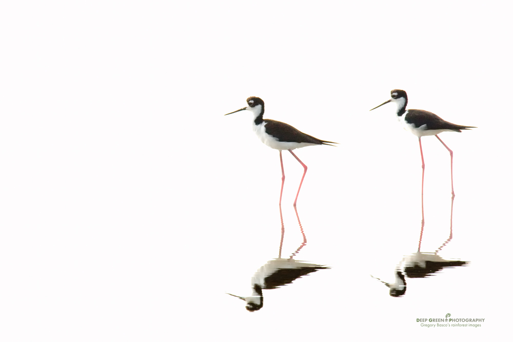 High-key Stilts Photographing black-necked stilts in a salt pond beside a mangrove estuary in Costa Rica a few years ago, I deliberately walked around so that my shadow was pointing squarely away from the birds! By shooting into the sun, I was able to wildly overexpose the sunlit water, ensuring a proper exposure for the stilts. A hint of fill-flash also helped to open up shadow detail in the birds. The result is a much more interesting and graphic photo (IMHO!) than I would have gotten if I had put the sun at my back