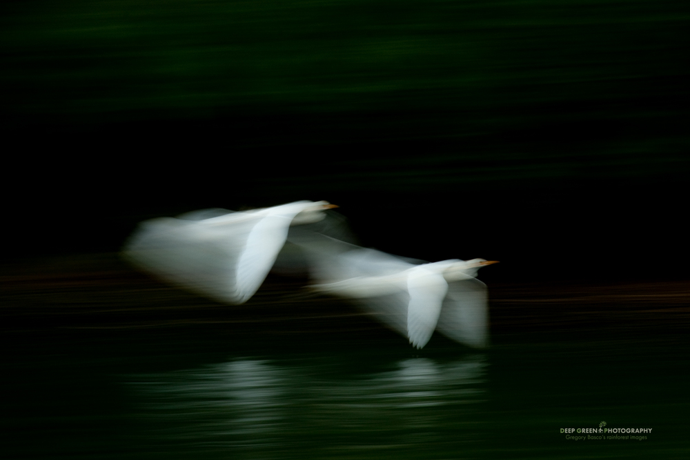 Egret Dawn I employed flash and a slow shutter speed (1/10 of a second) for this image of cattle egrets flying up a rainforest river at the crack of dawn. Lining myself up against a shaded part of the forest on the opposite riverbank ensured dark water with faint green reflections.