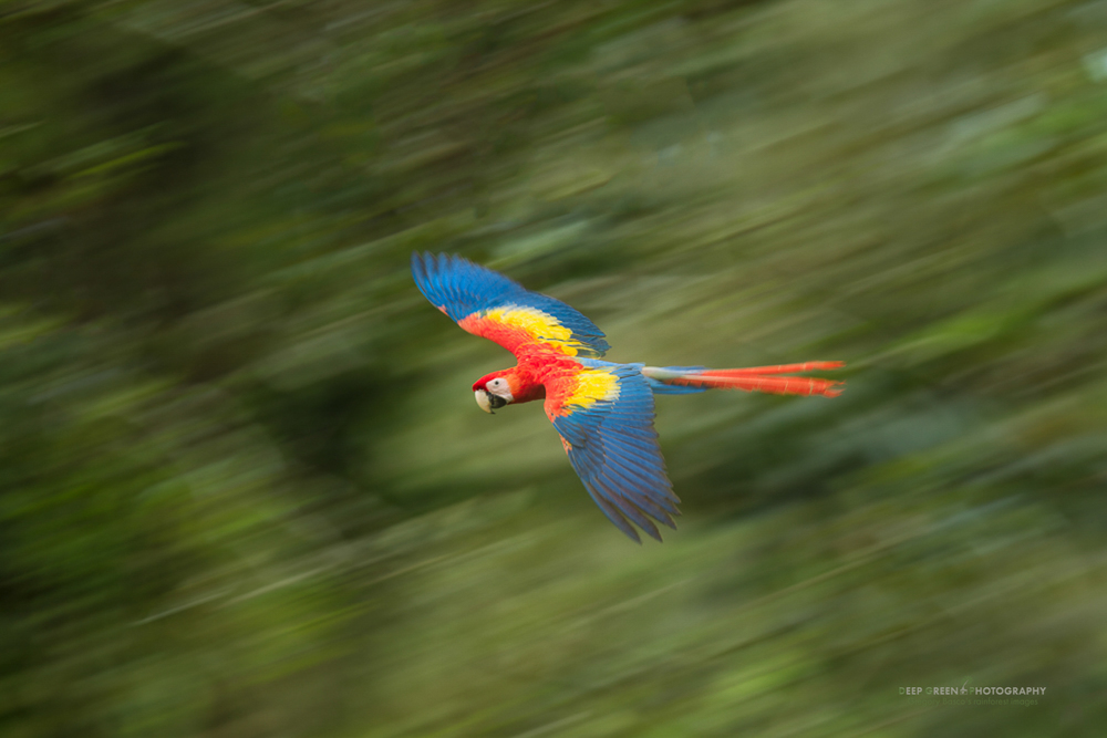 Macaw Motion I had enough light here to pull off a sharp flight shot of this scarlet macaw. But instead of doing that, I stopped down my aperture and lowered my ISO to yield a slower shutter speed. Flash in manual mode added a bit of pop and sharpness to the macaw while maintaining the blurred background that resulted from panning.