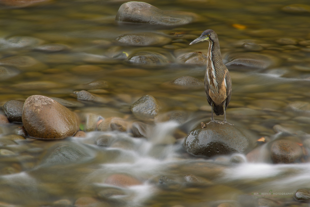 Concentration Including motion in an image does not always mean catching the subject moving. Here is one of my all-time favorite bird images that I have in my collection. While out shooting and working on The Guide to Tropical Nature Photographywith my friend Glenn Bartley a couple of years ago, we came across this fasciated tiger heron fishing in a rushing river in late afternoon light. I framed loosely to take an image that showed silky water with an intensely focused bird. The exposure was 5 seconds or so! I like it because of the complementary colors and the juxtaposition of moving water and stock still subject.